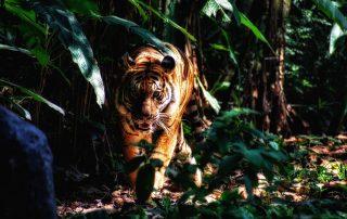 Tiger Parabel Buddhismus